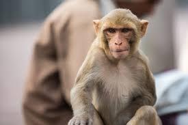 Thailand begins coronavirus vaccine trials on monkeys   Deccan Herald